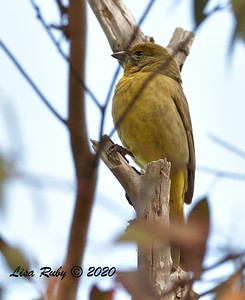 Hepatic Tanager  - 2/23/2020 - N. Clairemont Rec Center