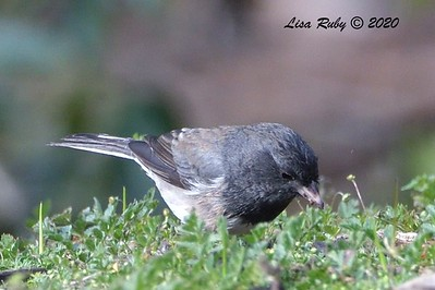 Dark-eyed Junco (possibly Cismontanus or Slate-colored)  - 2/23/2020 - N. Clairemont Rec Center