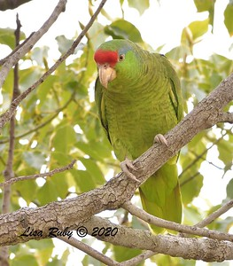 Red-crowned Parrot  - 2/23/2020 - N. Clairemont Rec Center
