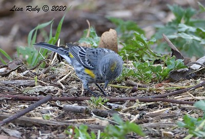 Yellow-rumped Warbler  - 2/23/2020 - N. Clairemont Rec Center