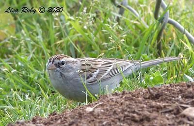 Chipping Sparrow - 2/23/2020 - Mt. Etna Park, Clairemont