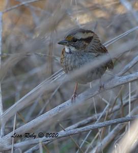 White-throated Sparrow - 12/16/2020 - Damon Lane County Park