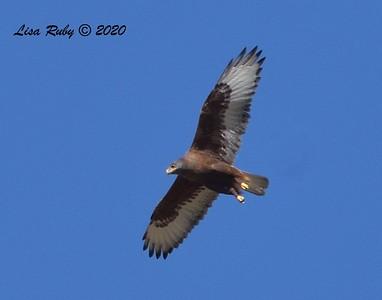 Ferruginous Hawk  - 11/18/2020 - Rangeland Rd.