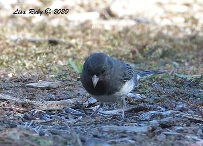 Dark-eyed Junco (Slate-colored)  - 11/18/2020 - Dos PIcos County Park
