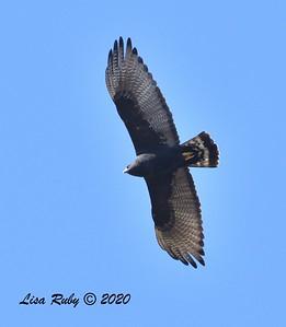 Zone-tailed Hawk  - 11/04/2020 - Felicita Park