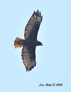 Red-tailed Hawk (dark morph)  - 11/04/2020 - Felicita Park