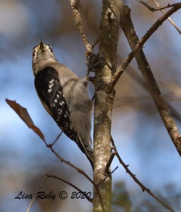 Downy Woodpecker  - 11/04/2020 - Felicita Park