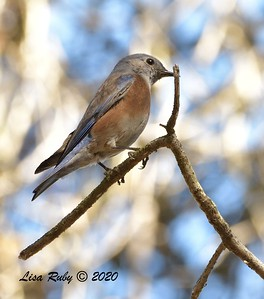Western Bluebird  - 11/04/2020 - Felicita Park