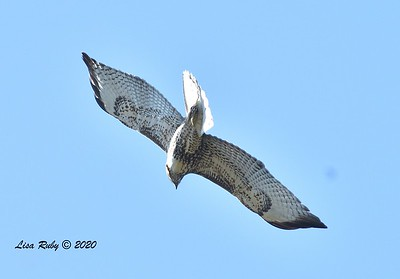Immature Red-tailed Hawk  - 11/04/2020 - Felicita Park