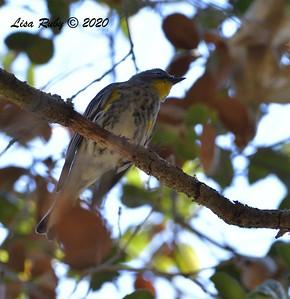 Yellow-rumped Warbler  - 11/04/2020 - Felicita Park