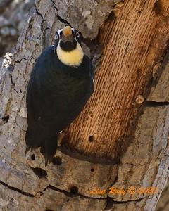 Acorn Woodpecker  - 11/04/2020 - Felicita Park
