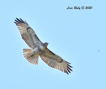 Red-tailed Hawk  - 11/04/2020 - Felicita Park