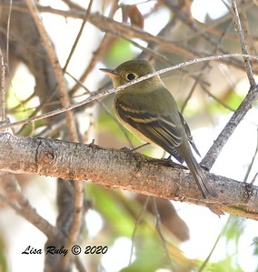 Pacific-slope Flycatcher  - 09/25/2020 - Hilleary Park, Poway