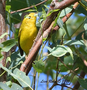Wilson's Warbler  - 09/25/2020 - Hilleary Park, Poway