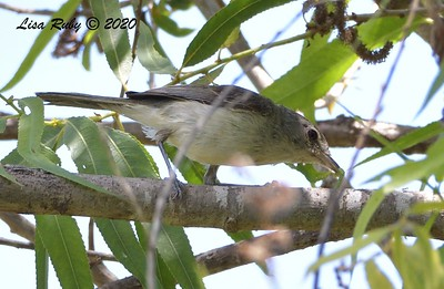 Least Bell's Vireo - 6/172020 - Lake Hodges Bernardo Bay Trail