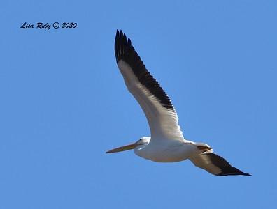 American White Pelican  - 12/25/2020 - Lake Hodges Bernardo Bay Trail