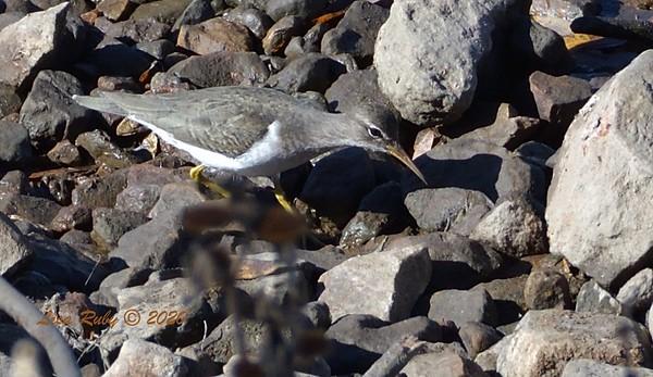Spotted Sandpiper  - 12/25/2020 - Lake Hodges Bernardo Bay Trail