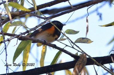 American Redstart  - 1/3/2020 - Lake Hodges Bernardo Bay Trail