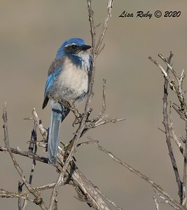 California Scrub Jay  - 1/3/2020 - Lake Hodges Bernardo Bay Trail