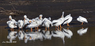 American White Pelicans  - 1/3/2020 - Lake Hodges Bernardo Bay Trail