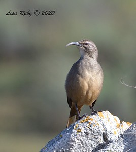 California Thrasher  - 1/3/2020 - Lake Hodges Bernardo Bay Trail