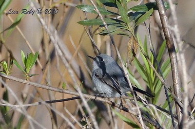 California Gnatcatcher  - 1/3/2020 - Lake Hodges Bernardo Bay Trail