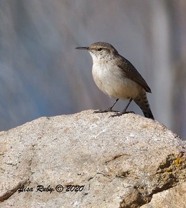 Rock Wren  - 1/4/2020 - Lake Hodges Bernardo Bay Trail, CBC