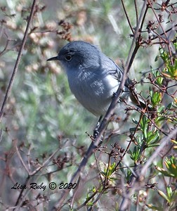 California Gnatcatcher  - 1/4/2020 - Lake Hodges Bernardo Bay Trail, CBC