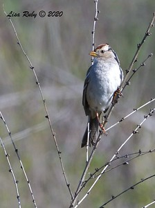 White-crowned Sparrow  - 1/4/2020 - Lake Hodges Bernardo Bay Trail, CBC