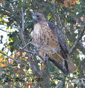 Red-tailed Hawk  - 1/4/2020 - Lake Hodges Bernardo Bay Trail, CBC