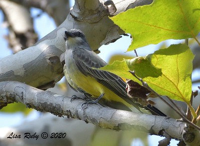 Cassin's Kingbird  - 09/16/2020 - Sabre Springs creek