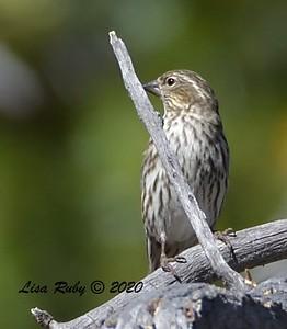Cassin's Finch   - 10/22/2020 - Mt. Laguna Agua Dulce Trail