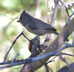 Oak Titmouse   - 10/22/2020 - Mt. Laguna Agua Dulce Trail
