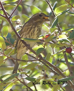Purple Finch   - 10/22/2020 - Mt. Laguna Agua Dulce Trail