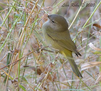 Orange-crowned Warbler   - 10/22/2020 - Mt. Laguna Agua Dulce Trail