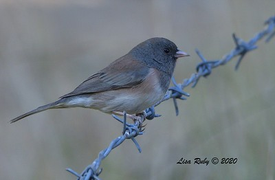 Dark-eyed Junco (Oregon)  - 10/23/2020 - Mount Laguna West Meadow +& 19 mile pullout