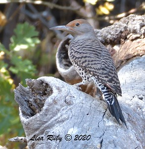 Nothern Flicker  - 10/23/2020 - Mount Laguna West Meadow +& 19 mile pullout