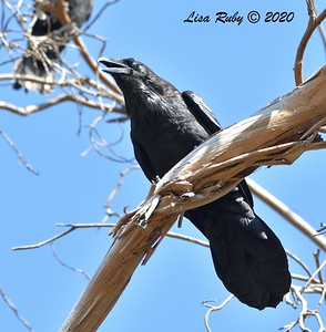 Common Raven  - 9/23/2020 - Old Poway and Aubrey Parks