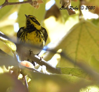 Townsend's Warbler  - 9/23/2020 - Old Poway and Aubrey Parks