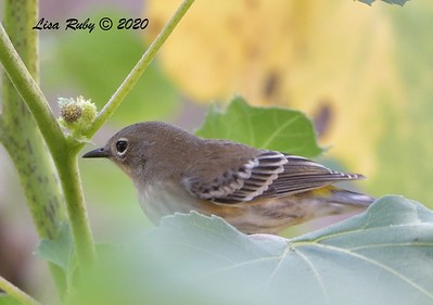 Yellow-rumped Warbler  - 9/23/2020 - Old Poway and Aubrey Parks