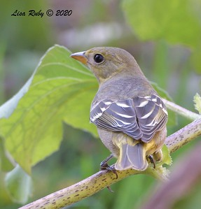 Western Tanager  - 9/23/2020 - Old Poway and Aubrey Parks