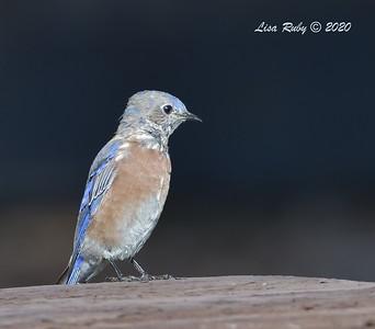 Western Bluebird  - 9/23/2020 - Old Poway and Aubrey Parks