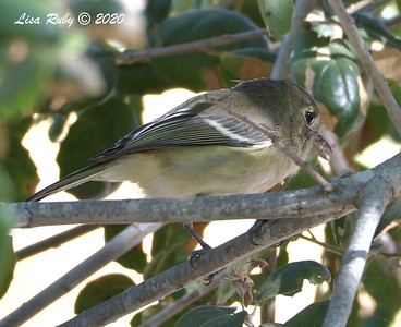 Hutton's Vireo  - 9/23/2020 - Old Poway and Aubrey Parks