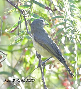 Warbling Vireo  - 9/23/2020 - Old Poway and Aubrey Parks
