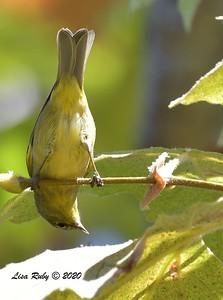 Orange-crowned Warbler  - 9/27/2020 - Penasquitos Creek Trail, Sabre Springs