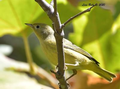 Yellow Warbler  - 9/27/2020 - Penasquitos Creek Trail, Sabre Springs