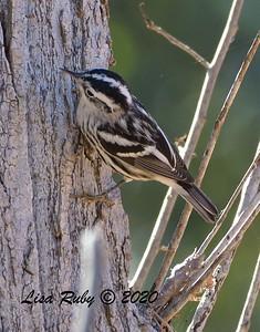 Black-and-white Warbler   - 11/13/2020 - Poway Creek