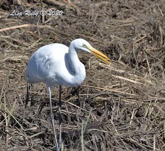 Great Egret   - 11/13/2020 - Poway Creek
