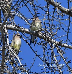 Cedar Waxwings   - 11/13/2020 - Poway Creek
