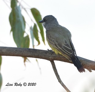 Cassin's Kingbird  - 9/29/2020 - Poway Creek